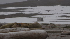 Walrus Beach Dolly Slide - tight Stock Footage