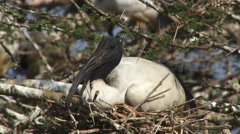 An ibis on a nest Stock Footage