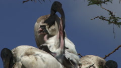 Close up of ibis mother feeding children Stock Footage