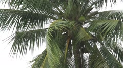Video 1920x1080 Tropical rain drops falling on the coconut palm tree leaves Stock Footage