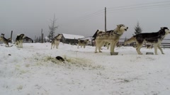 Husky dogs ready for a dogsled race Stock Footage