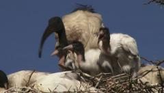 Hungry baby ibis Stock Footage