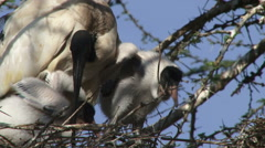 Ibis bird with two chicks Stock Footage