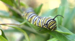 Monarch caterpillar Stock Footage