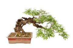 Cascade style bonsai tree on white - stock photo