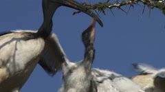 Ibis feeds babies from her throat Stock Footage