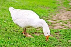 Goose white nips grass - stock photo