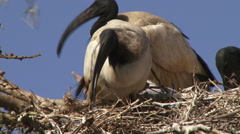 Ibis building a nest Stock Footage