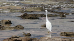 Heron walking on the seashore. 27 seconds Stock Footage