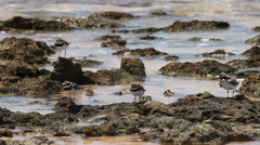 Four little birds on the seashore at high tide. 32 seconds Stock Footage