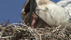 Ibis mother feeds a very small baby Stock Footage