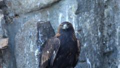 Stock Video Footage of All-round observing of adorable golden eagle close up, Aquila chrysaetos,