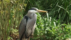 grey heron (Ardea cinerea) stands still at the bank of a pond - medium shot - stock footage