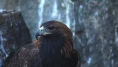 All-round observing of excited adorable golden eagle, Aquila chrysaetos, Stock Footage