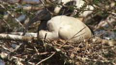 Ibis on a nest Stock Footage
