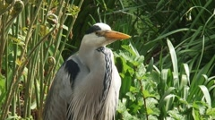grey heron (Ardea cinerea) stands still  - moves head - close up - stock footage