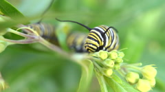 Monarch caterpillar on plant Stock Footage