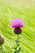 Thistle blooming on meadow Stock Photos