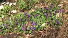 Wood violet ( Viola riviniana ) - zoom out Wood anemones (anemone nemorosa) Stock Footage