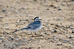 Stock Photo of Wagtail on the sand