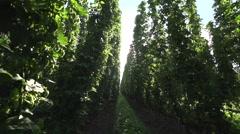 Inside a hop field Stock Footage