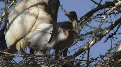 Sacred ibis with babies Stock Footage