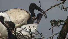 Side view of ibis feeding babies Stock Footage
