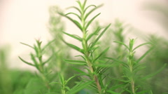 Rosemary Herb Close Up - stock footage