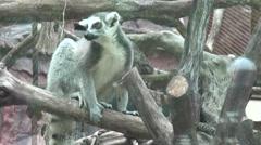 Lemurs, Zoo Animals, Wildlife, Nature -Dan Stock Footage