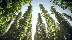 Sky look trough hops Stock Footage