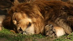 Playful branch shadow on sleeping shaggy lion with mighty paw close up. Stock Footage