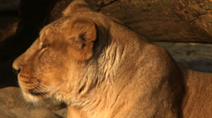 Adorable head close up in profile of golden lioness in sunset soft light Stock Footage