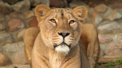 Following look of cute and cuddly lioness in soft sunset light Stock Footage
