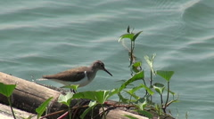 Common Sandpiper Hunting On Bamboo Stock Footage