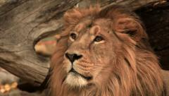 Stare of picturesque golden lion on fallen tree background. Stock Footage