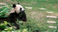 A Cute Giant panda eating bamboo Macau zoo -Dan Stock Footage