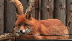 Adorable red fox, vulpes vulpes, on log wall background and biting metal bar. Stock Footage