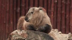 Cute and cuddly takin calf, Budorcas taxicolor, lying on huge wood block Stock Footage