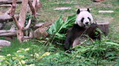 Close up of a Cute Giant panda eating bamboo Macau zoo-Dan Stock Footage
