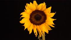 4K Sunflower Sprinkling Stars Stock Footage