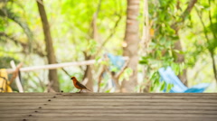 Red fody bird on wood table Stock Footage