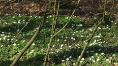 Pan + hold Wood anemones + Bird in a bush blooming Stock Footage