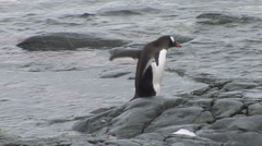 Gentoo Penguin waddling in Paradise Harbour, Antarctica Stock Footage