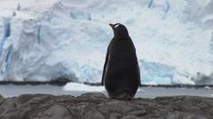 Gentoo Penguin in Paradise Harbour, Antarctica Stock Footage