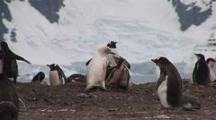 Stock Video Footage of Rare Albino Gentoo Penguin feeding in Paradise Harbour, Antarctica