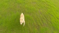 Golden Labrador Running In Park 2-Aerial Shot Stock Footage