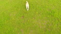 Golden Labrador Jumping Up At Camera 2-Aerial Shot Stock Footage
