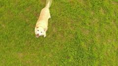 Golden Labrador Jumping Up At Camera Stock Footage