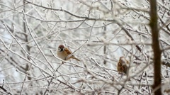 Sparrows In The Tree In Winter - stock footage