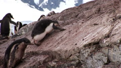 Gentoo Chicks in Paradise Harbour, Antarctica - stock footage
